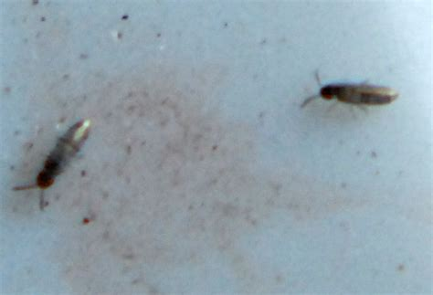 elongate bodied springtails whats  bug