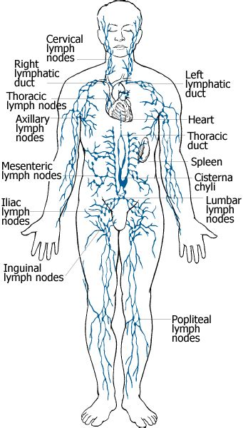 lymph node locations lymph node location diagram get free image about wiring diagram