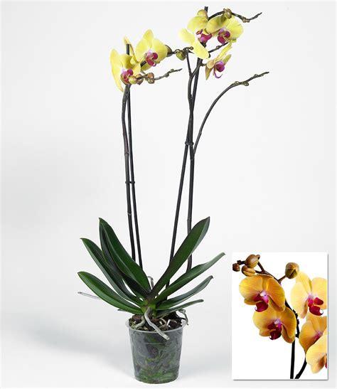 orchideen samen kaufen orchideen samen kaufen holdenii orchideen cattleya kaufen