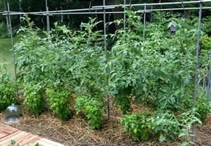 how to grow tomatoes grow bags or soil the garden of eaden