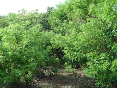 Jual Bibit Kaliandra Surabaya hijauan pakan ternak balai pembibitan ternak unggul dan