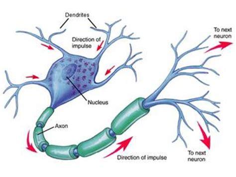imagenes neuronas sensoriales sistema nervioso estructura de una c 201 lula nerviosa