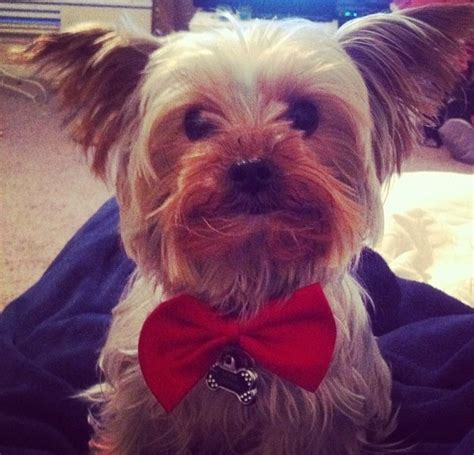 yorkie bow tie yorkie in a bow tie terriers bow ties ties and yorkie