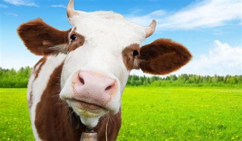 imagenes de vacas blancas vaca descopera ro