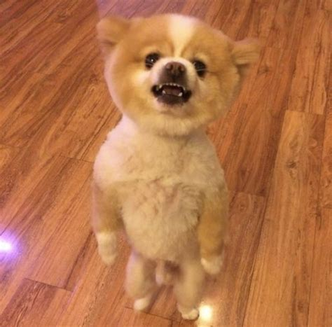 pomeranian walking on hind legs pomeranian protests his haircut by walking on hind legs for two days