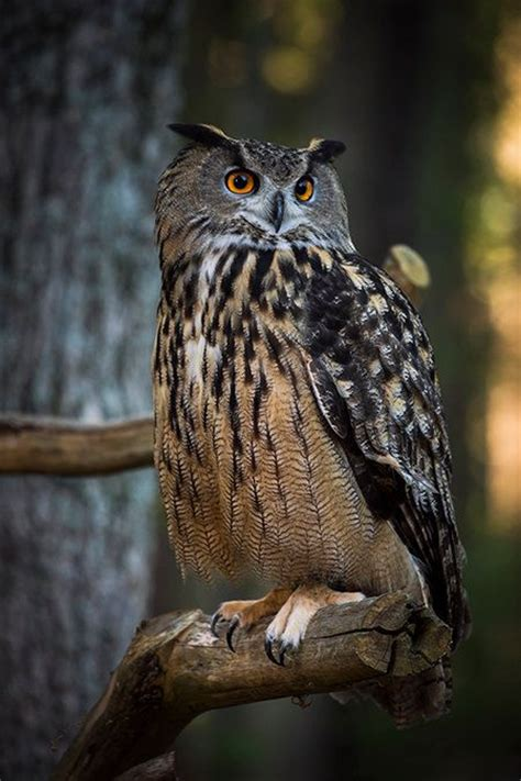 printable pictures of great horned owl pinterest the world s catalog of ideas