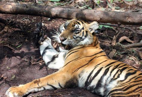 Cacing Jambi karena parasit harimau sumatera bisa sakit mongabay co id