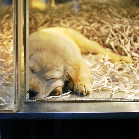 puppy store san diego san diego bans pet store sales of dogs and cats in effort to halt puppy mills huffpost