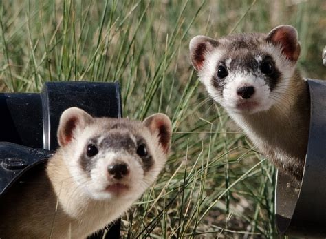 free photo black footed ferrets looking two free