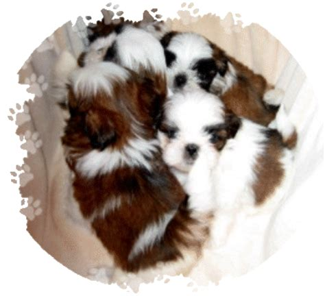 puppies for sale in wilmington nc shih tzu breeder nc rachael edwards