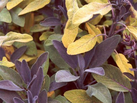 purple foliage plants foliage plants