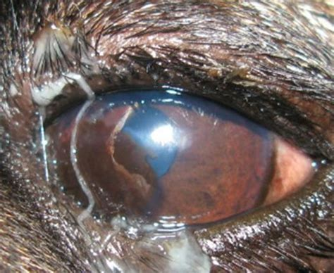 entropion in pugs pigmentary keratitis in pugs pug eye conditions
