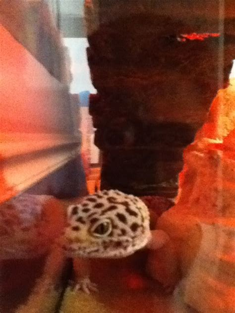 leopard gecko lighting at night at night leo sleeps with a red light leopard gecko