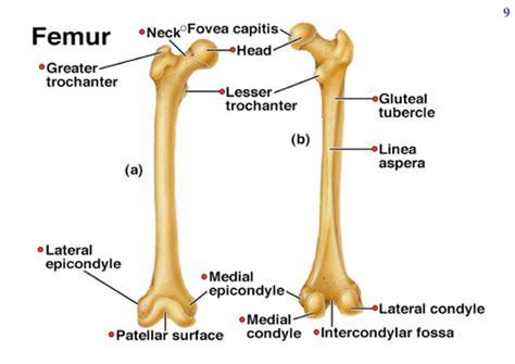 femur diagram labeled bones 5 of 5 femur