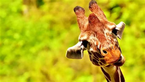 The Giraffes Cousins of all the goofy extinct giraffe cousins the giraffid reigns supreme tennessee