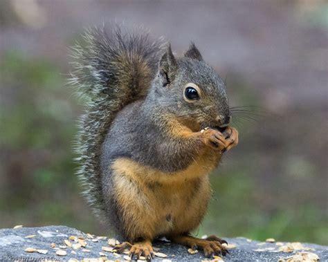 douglas squirrel mounthaven park mt rainier np wa