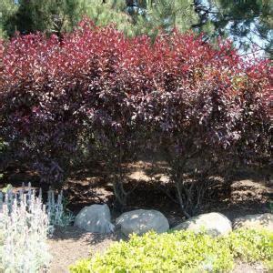 onlineplantcenter  gal purpleleaf sand cherry shrub