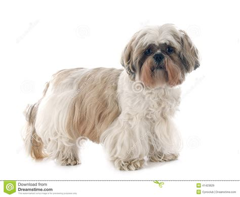 how to if your shih tzu is purebred shih tzu stock photo image 41423629