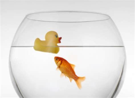 pesciolino rosso nella vasca di cristallo pesce rosso ingoia un sassolino i veterinari lo salvano
