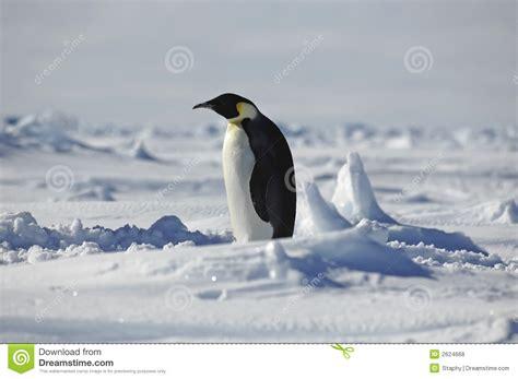 St Pinguin 50 stehender pinguin stockfoto bild arktisch kalt
