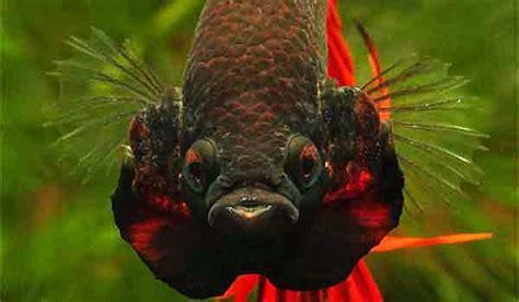 Makanan Ikan Cupang Selain Takari umur berapa cupang bisa diadu