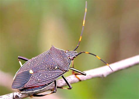 bug treer common gum tree shield bug poecilometis patruelis