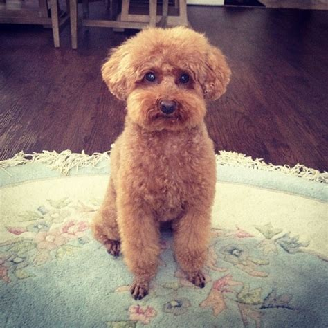 picture of poodle with silky hair texture 1000 images about doodles on pinterest