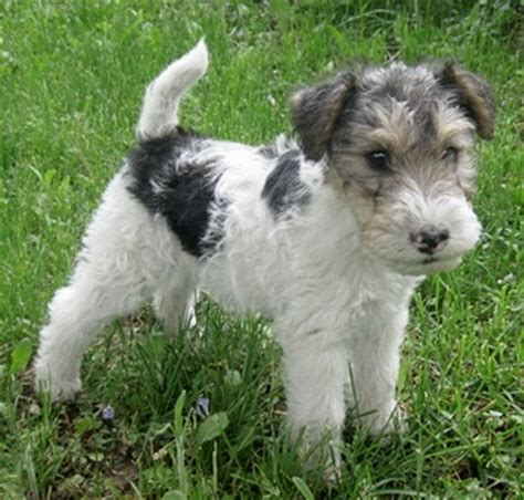 wire fox terrier puppies breeders wire fox terrier jagdterrier