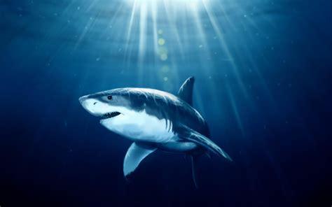 shark wallpaper   airwallpapercom