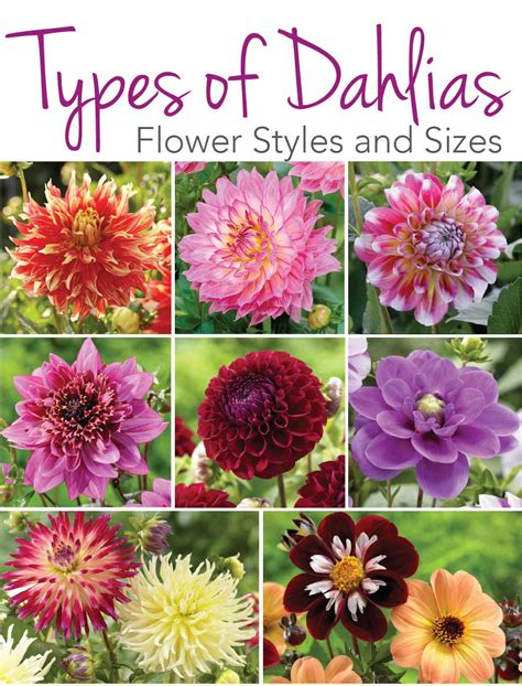 7 Types Of Flowers To For A Winter Wedding by Your Dahlias Flower Styles And Sizes Dahlia