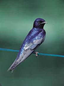 purple martin birds birdhouses birdcages pinterest