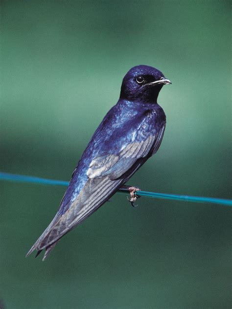 purple martin birds birdhouses birdcages pinterest