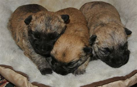 akc cairn terrier puppies for sale breed profile cairn terrier pictures cairn terrier puppies for sale breeds picture