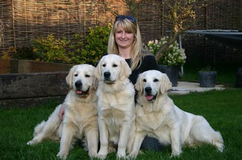 pale golden retriever beautiful pale golden retriever puppies ashford kent pets4homes