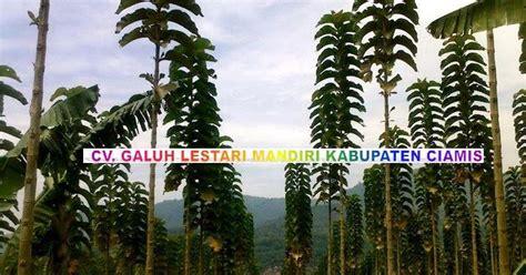 Jual Bibit Sengon Solomon Kultur Jaringan gambar pohon jati solomon jati solomon kultur jaringan