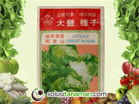 Bibit Selada Hijau selada krop lettuce alisan 10gr bibit tanaman sayur
