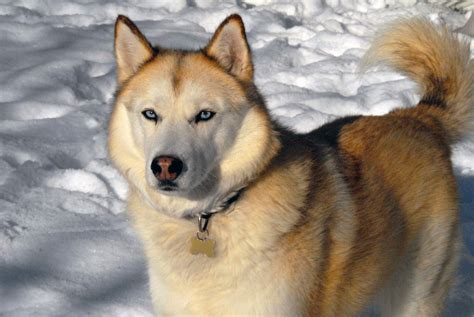 siberian husky mix golden retriever golden retriever husky mix information images and