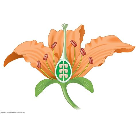 Flower Ovary Cross Section by Angiosperm And Gymnosperms Lab At College Of The