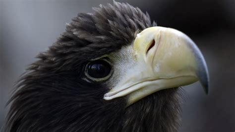 wallpaper black eagle black eagle full hd wallpaper and background 1920x1080