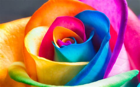 colorful rose wallpaper download flower 20 rose multicolor sle 13december2012thursday