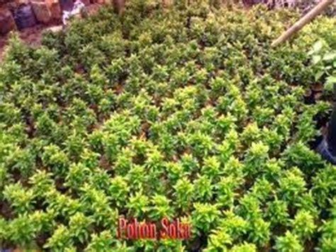 Tanaman Soka Merah Jepang tanaman hias agen tanaman hias pusat tanaman tukang