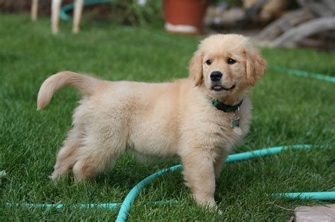 find a golden retriever puppy tips guide for effectively your golden retriever puppies