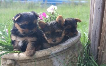 cheap yorkie puppies for sale in atlanta teacup terrier for sale in atlanta dogs our friends photo