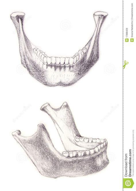 mandible bone royalty free stock images image 17888429