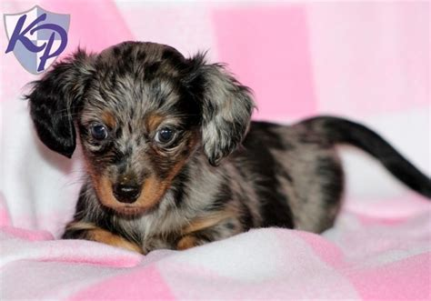 chiweenie puppies for sale in pa chiweenie puppies chiweenie puppy for sale in pa awww puppies
