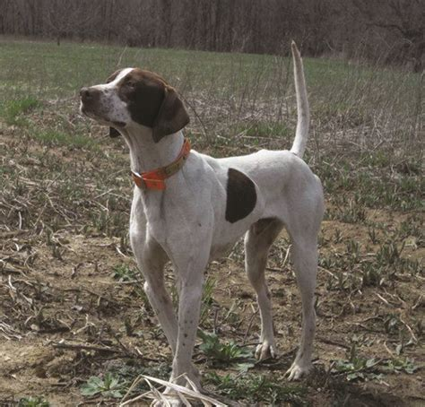 american setter dog clovernook pointer and setter club by ray wheeler