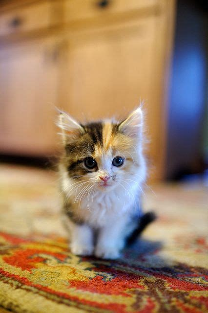 naming your calico cat name ideas for calico cats page 1 little miss kitty
