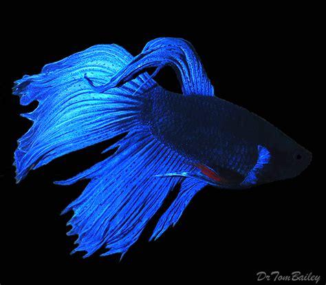 Mini Fish Blue betta for sale aquariumfish net