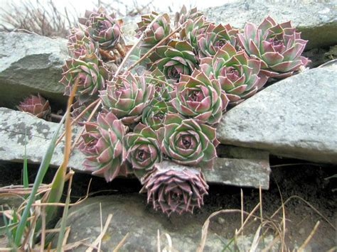 hardy succulents book review