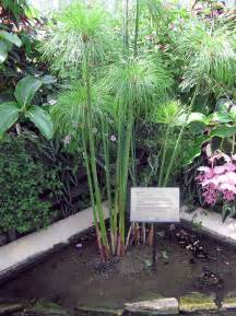 Tropical Plants Perth - cyperus papyrus